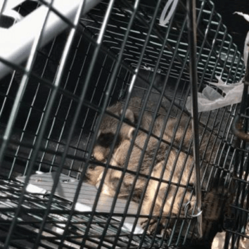 Close to newborn Raccoon pups (772)579-0230
