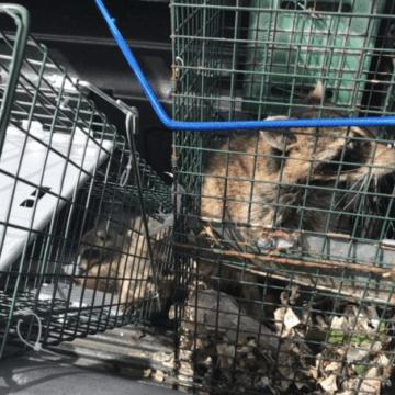Mamma Raccoon with pups (772)579-0230