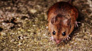 rat-removal-port-St-Lucie