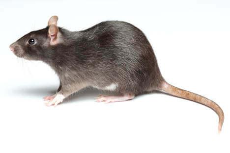 Pro Control Rat Removal
