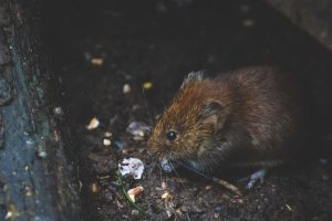 rodent removal port st lucie