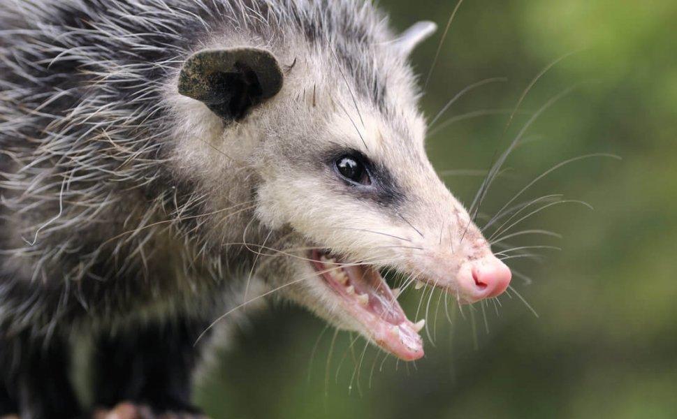 opossum wildlife control