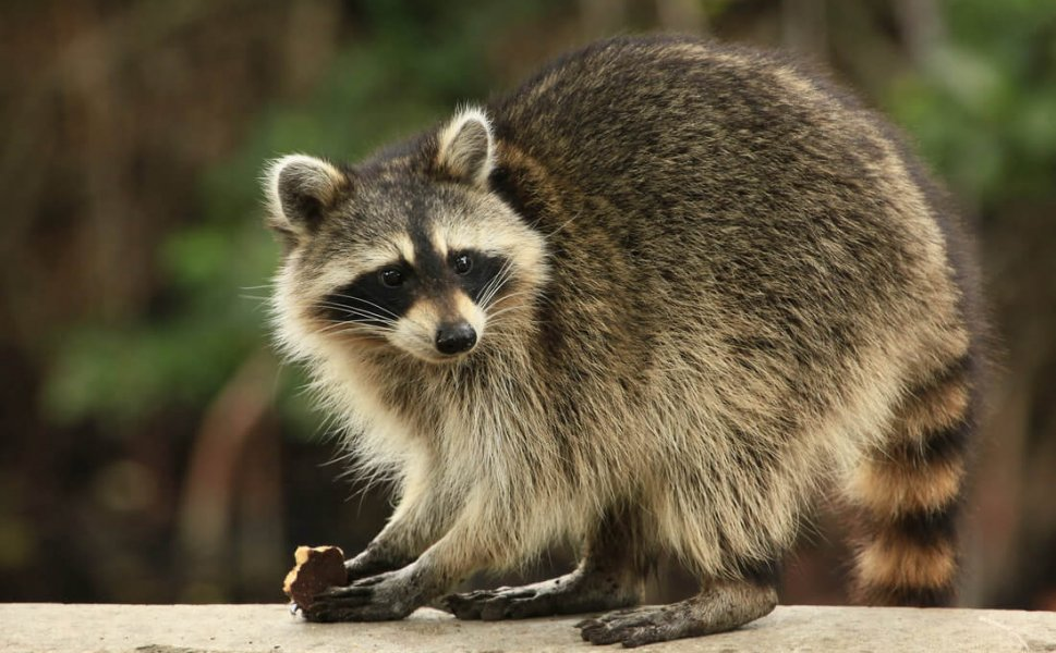 raccoon wildlife control